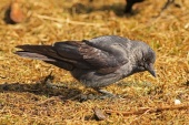 WildLife Photos of Birds, Crows, Starlings & others, Eurasian Jackdaw, Corvus monedula