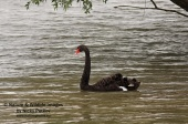 WildLife Photos of Black Swan, Cygnus atratus