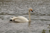 WildLife Photos of Tundra Swan, Cygnus columbianus