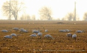 WildLife Photos of Birds, Geese, Ducks & others, Whooper Swan, Cygnus cygnus