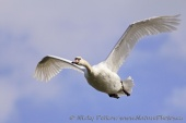 WildLife Photos of Mute Swan, Cygnus olor