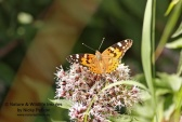 WildLife Photos of Painted lady, Vanessa cardui