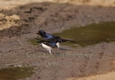 WildLife Photos of Northern House-martin, Delichon urbica