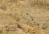 WildLife Photos of Desert Wheatear, Oenanthe deserti