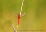 WildLife Photos of Broad Scarlet, Crocothemis erythraea