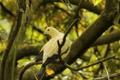 WildLife Photos of Pied Imperial Pigeon, Ducula bicolor