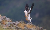 WildLife Photos of Birds of Prey, Egyptian Vulture, Neophron percnopterus
