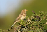 WildLife Photos of Birds, Sparrows, Finches & Buntings, Corn Bunting, Miliaria calandra
