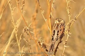 WildLife Photos of Reed Bunting, Emberiza schoeniclus