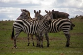 WildLife Photos of Plain Zebra, Equus quagga boehmi