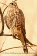 WildLife Photos of Birds of Prey, Merlin, Falco columbarius