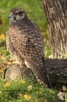 WildLife Photos of Birds of Prey, Saker Falcon, Falco cherrug