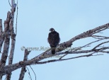 WildLife Photos of Birds of Prey, Peregrine Falcon, Falco peregrinus