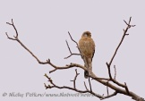 WildLife Photos of Birds of Prey, Common Kestrel, Falco tinnunculus