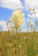WildLife Photos of Rosea Dropwort , Filipendula vulgaris