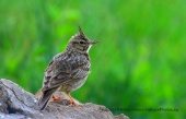 WildLife Photos of Birds, Larks, Swallows & Martins, Crested Lark, Galerida cristata