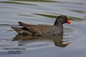 WildLife Photos of Common Moorhen, Gallinula chloropus