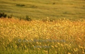 WildLife Photos of Hay Grasslands,