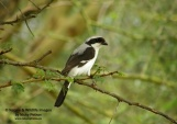 WildLife Photos of Grey-backed Fiscal, Lanius excubitoroides