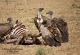 WildLife Photos of Birds of Prey, White-backed Vulture, Gyps africanus