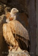 WildLife Photos of Birds, Birds of Prey, Eurasian Griffon Vulture, Gyps fulvus