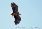 WildLife Photos of Birds of Prey, White-tailed Eagle, Haliaeetus albicilla
