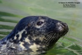WildLife Photos of Grey seal, Halichoerus grypus