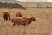 WildLife Photos of Primitive breeds and Agriculture, Scottish Highland Cattle, Bos taurus (aurochs)