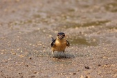 WildLife Photos of Red-rumped Swallow, Hirundo daurica