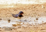 WildLife Photos of Barn Swallow, Hirundo rustica