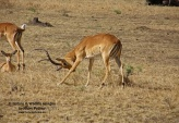 WildLife Photos of Impala, Aepyceros melampus