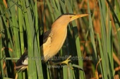 WildLife Photos of Little Bittern, Ixobrychus minutus