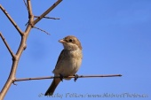 WildLife Photos of Red-backed Shrike, Lanius collurio