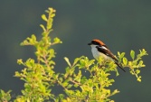 WildLife Photos of Woodchat Shrike, Lanius senator