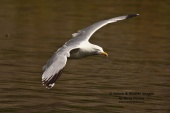 WildLife Photos of Birds, Gulls, Terns & Auks, Herring Gull, Larus argentatus