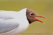 WildLife Photos of Birds, Gulls, Terns & Auks, Common Black-headed Gull, Larus ridibundus