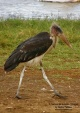 WildLife Photos of Marabou Stork, Leptoptilos crumeniferus