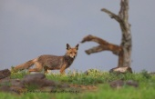 WildLife Photos of Fox, Vulpes vulpes