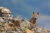 WildLife Photos of Mammals, Carnivores, Fox, Vulpes vulpes
