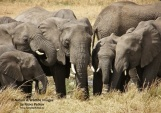 WildLife Photos of Mammals, Elephants & hyraxes, African Elephant, Loxodonta africana