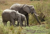 WildLife Photos of African Elephant, Loxodonta africana