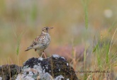 WildLife Photos of Wood Lark, Lullula arborea