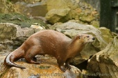 WildLife Photos of European Otter, Lutra lutra