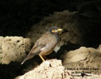 WildLife Photos of Common Myna, Acridotheres tristis
