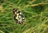 WildLife Photos of Insects, Butterfly, Marble White, Melanargia galathea