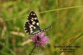 WildLife Photos of Marble White, Melanargia galathea