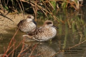 WildLife Photos of Marbled Teal, Marmaronetta angustirostris