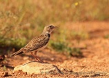 WildLife Photos of Calandra Lark, Melanocorypha calandra