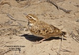 WildLife Photos of Bimaculated Lark, Melanocorypha bimaculata