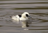 WildLife Photos of Smew, Mergellus albellus